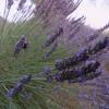 Una pasión para la púrpura: la granja de lavanda