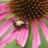 El control de los escarabajos japoneses