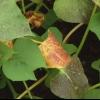 El control de plagas y enfermedades en plantas de guisante