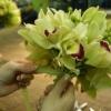Ramo de orquídeas Cymbidium