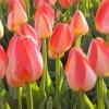 Bulbos para siembra de otoño