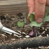 El cultivo y la cosecha de coles habas yardlong y berenjenas blanco