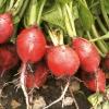 Creciendo rábanos belle cereza