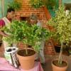 El cultivo de árboles de cítricos