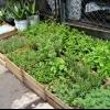 Creciendo hierbas culinarias