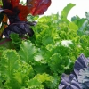 El cultivo de alimentos a través de la temporada de frío