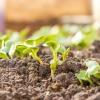 Creciendo verdes de rábano