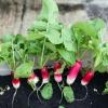 Rábanos cultivo en interior