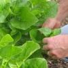 Cómo crecer espinaca malabar
