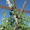 ¿Cómo construir un enrejado para los guisantes que crecen