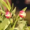 Cómo forzar bulbos de flores