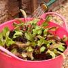 ¿Cómo hacer crecer la remolacha en un contenedor