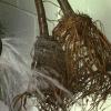 Cómo crecer árboles de higo