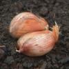 ¿Cómo hacer crecer el ajo y los chalotes