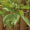 Cómo crecer las plantas de pimiento