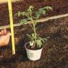 Cómo cultivar tomates de trasplantes