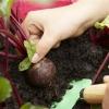 Cómo cosechar la remolacha