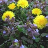 Cómo identificar las malas hierbas de césped comunes