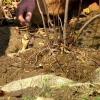 Cómo plantar un árbol balled-and-arpillera o arbusto