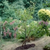 Cómo plantar árboles en un césped