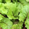 Cómo preparar, almacenar y congelar las hojas de remolacha
