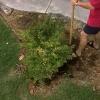 Cómo trasplantar un arbusto en el verano
