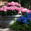 Colores Hydrangea