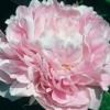 Peonías rosadas
