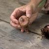 La plantación y el cuidado de los bulbos