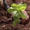 Algunos consejos para la siembra de hierbas sensata