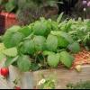 Consejos para fresas de cultivo