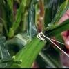 Consejos para proteger el maíz de enfermedades, plagas y animales
