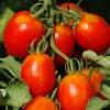 La comprensión de las enfermedades del tomate