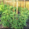 Jardinería vertical con los tomates
