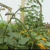 El clima cálido o frío, guisantes hacen un cultivo sabrosa