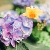 ¿Qué es una hortensia?
