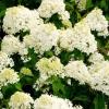 ¿Cuándo florecen las hortensias?