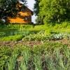 Cuándo plantar rábanos