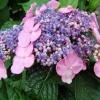 ¿Por hortensias no florecen