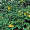 Peonías amarillas