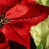 17 plantas que matarán a su gato y por qué flores de pascua no lo hará