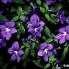Azul de flores anuales púrpura