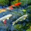 Burbujeante jardín peces fuente-piscina
