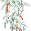 Pimienta de Cayena: remedios herbales