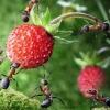 Las preferencias alimentarias de las hormigas