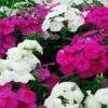 Jardín phlox