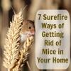 Deshacerse de los ratones molestos - sin tener que pagar a un profesional