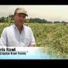 Cómo plantar semillas de maíz