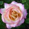 Té híbrido Rose