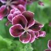 Ivy hojas de geranio